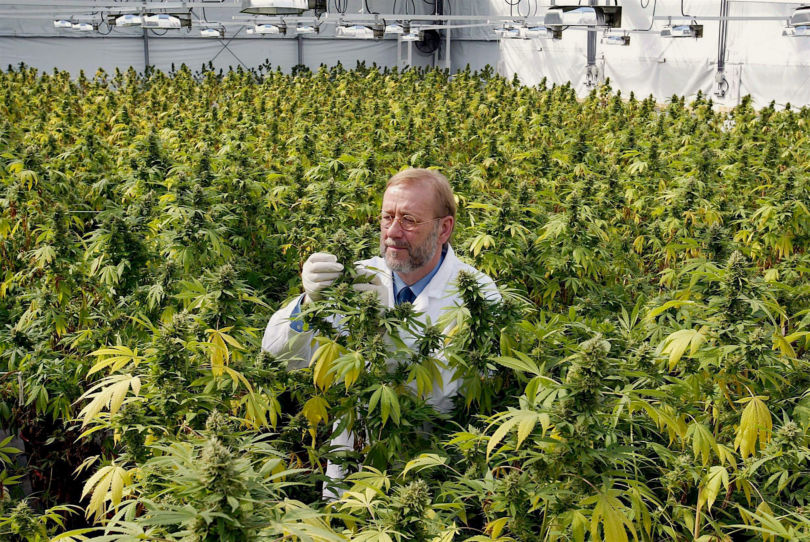 NETHERLANDS CANNABIS PLANTS:A cannabis expert examines a hemp plant in a shed in the Netherlands on Tuesday 02 September 2003. The Netherlands became the world's first country to make cannabis available as a prescription drug in pharmacies to treat cancer, HIV and multiple sclerosis patients. EPA PHOTO/ANP/Ed Oudenaarden//[/]